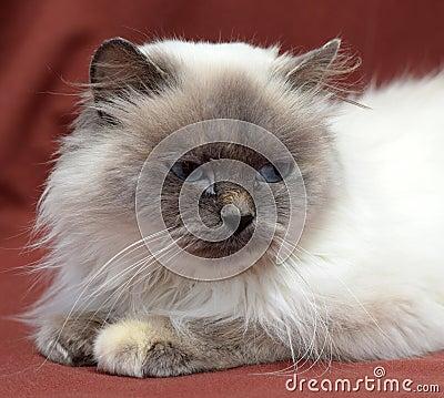 Free Himalayan Cat Royalty Free Stock Image - 48508856