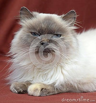 Free Himalayan Cat Stock Image - 48509081