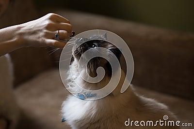 Himalayan Cat Free Public Domain Cc0 Image