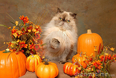 A HImalayan cat with Autumn Flowers and Pumkins