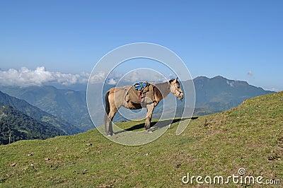 Himalayan horse.
