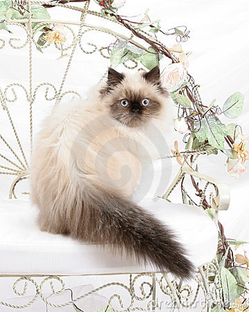Free Himalayan Kitten Royalty Free Stock Photography - 12860127