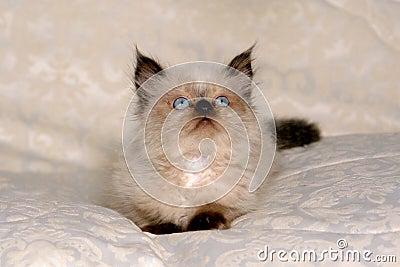 Himalayan Kitten II