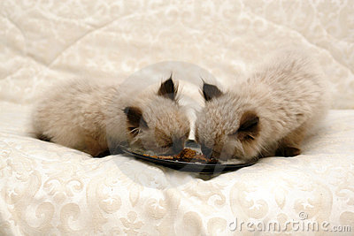 Himalayan Kittens Eating Food