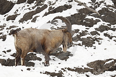 Mountains And Rivers Himalayan Tahr