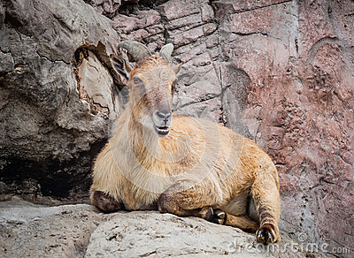 Himalayan Tahr Lying on Rock Chewing Cud