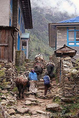 Free Himalayan Yak Royalty Free Stock Photography - 368827