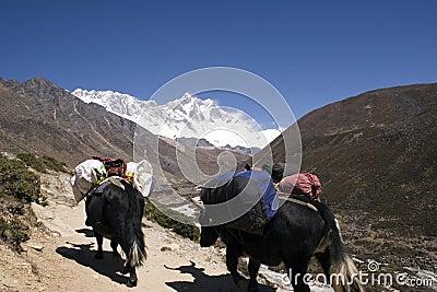 Himalayan Yaks - Nepal
