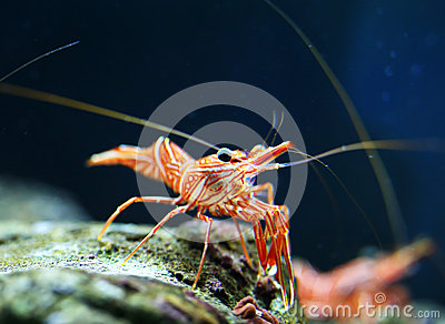 Hingebeak Shrimp