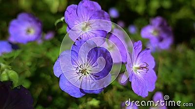 Hintergrund von blauen Blumen stock footage