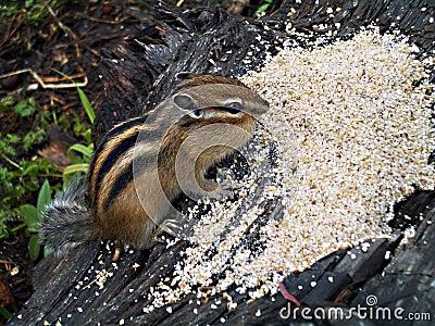 Сhipmunk, cheeks full of grain