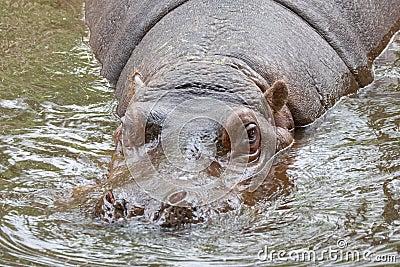 Hipopotam woda rzeczna