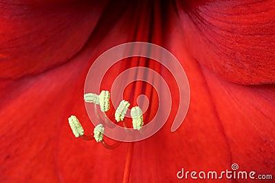 Hippeastrum (Amaryllis) flower macro