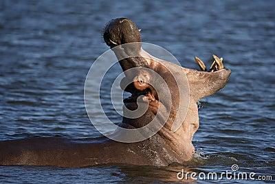 Hippo Bull