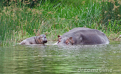 Hippo calf and cow waterside in Africa