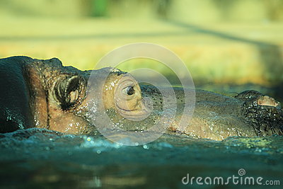 Hippo detail