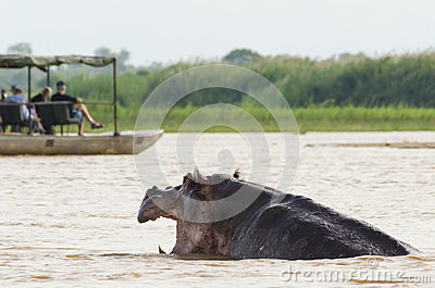 Hippo disturbed by tourists Editorial Stock Photo