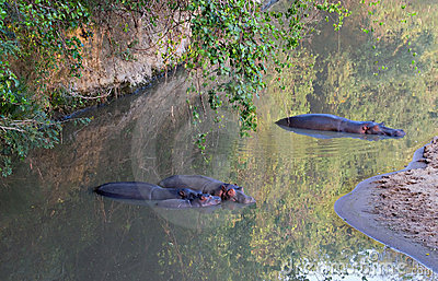 Hippo family in a small river