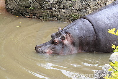 Hippo Getting into the Water - Sao Paulo Zoo