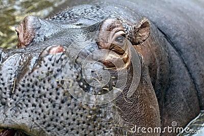 A Hippo, A hippopotamus