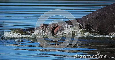 Hippo (Hippopotamus amphibius)