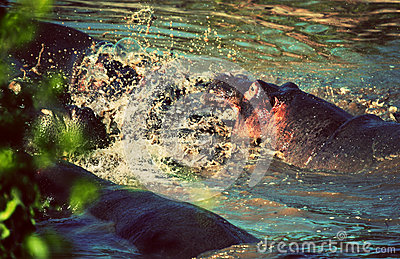 Hippo, hippopotamus fight in river. Serengeti, Tanzania, Africa