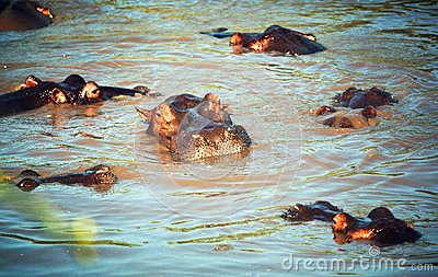 Hippo, hippopotamus group in river. Serengeti, Tanzania, Africa
