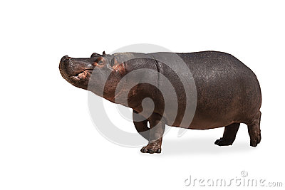 Hippo isolated