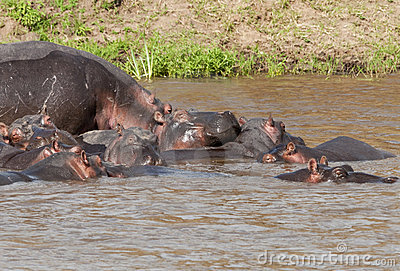 Hippo in the Mara River, Kenya