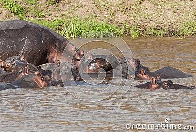 Hippo in the Mara River, Kenya