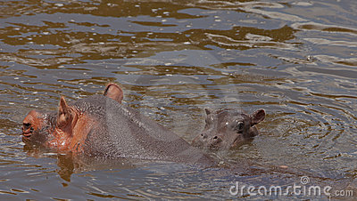 Hippo mother with bay