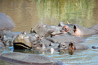 Hippo with oxpecker