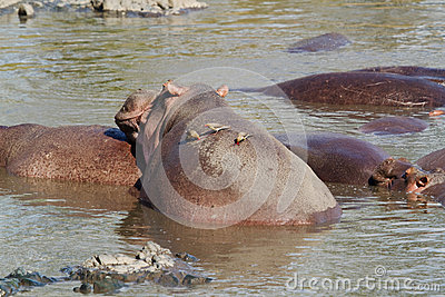 Hippo with oxpecker bird