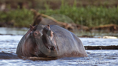Hippo rises from the water
