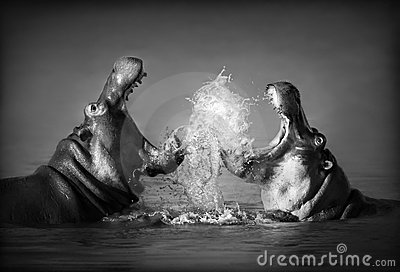 Hippo s fighting
