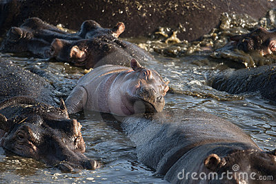 Hippo at the Serengeti National Park