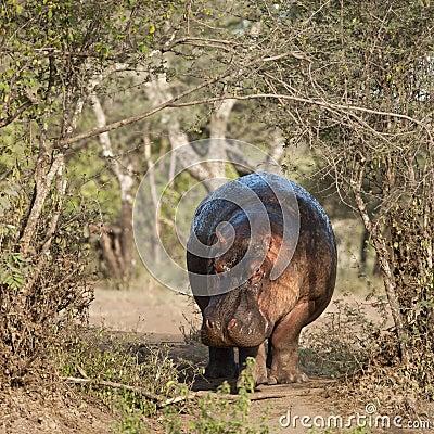 Hippo at the Serengeti National Park