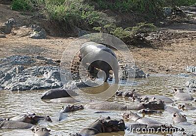 Hippo and shore