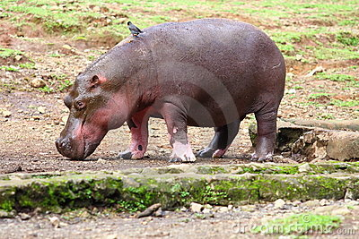 Hippo and Small Bird