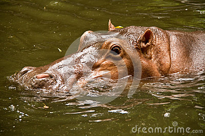 Hippo swim in pool