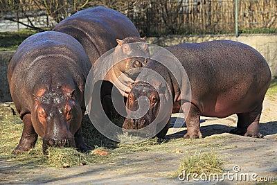 Hippo trio
