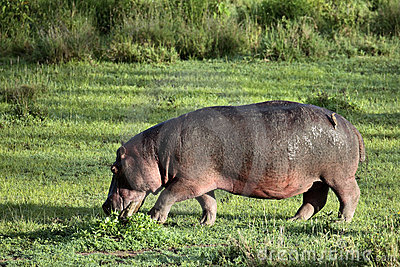 Hippo walks on the green lawn
