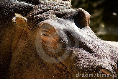 Close up of hippopotamus