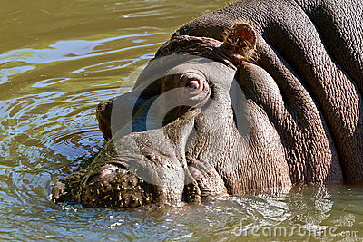 Hippopotamus en el agua