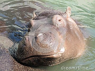 Hippopotamus hippo