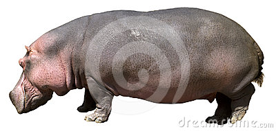 Hippopotamus , Hippo, Wildlife Isolated on White