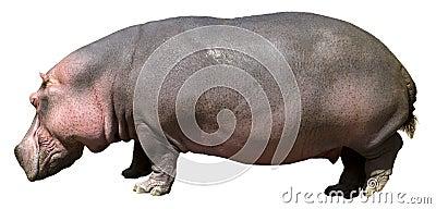 Hippopotamus , Hippo, Wildlife Isolated on White