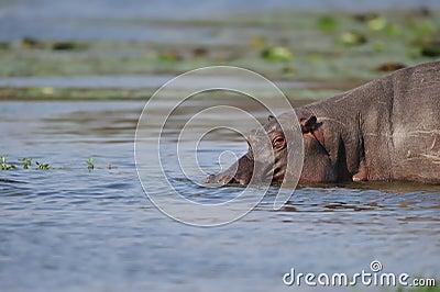 Hippopotamus (Hippopotamus amphibius)