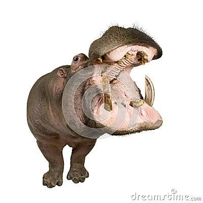 Free Hippopotamus - Hippopotamus Amphibius ( 30 Years) Stock Image - 7981981