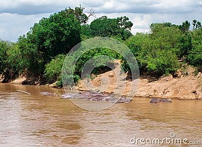 Hippopotamus (Hippopotamus amphibius) in river. Maasai Mara Nati